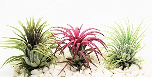 Plantas de aire Tillandsia x 3 - Ionantha Rojo, Verde y Rubra - Planta viva para terrario, vivario, decoración de la planta de la oficina