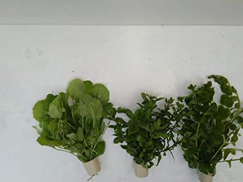 3 Extra dick XXL verschiedene,Bundpflanzen im umweltfreundlichen Keramikring.