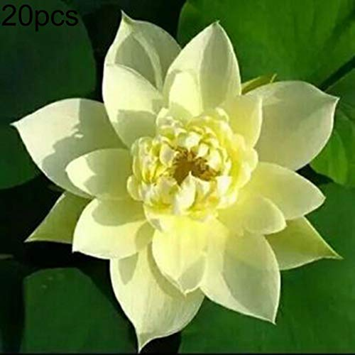 Uticon 20pcs Loto Taz¨®N Semillas Bonsai Plantas Hogar Jard¨ªN Hidrop¨®Nico Acu¨¢Tica Flor Decoraci¨®N - Semillas Bowl Amarillo Lotus