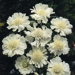 Scabiosa caucasica Perfecta Alba 250 seeds