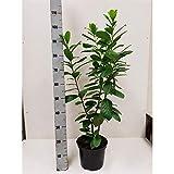 Kirschlorbeer 'Novita' 80 cm - 1 Pflanze - Prunus laurocerasus 'Novita' - Topfgewachsen