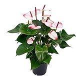 Anthurium andreanum'Hotlips'   Rosa Flamingoblume   Höhe 35-40cm   Topf-Ø 12cm
