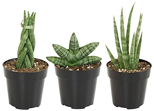 Sansevieria Assorted Plants (3 Pack), Snake Plant Live Indoor Plants, Sansevieria Plant Live House Plants, Sansevieria Cylindrica Plant Live Snake Plant, Snake Plants Live Plants by Plants for Pets