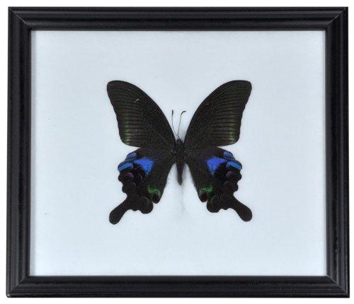 Wilai Schmetterling im Bilderrahmen,Blue Peacock (Papilio arcturus)