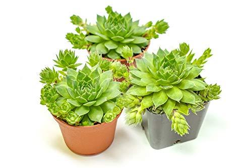 Hen and Chicks Succulents (3 Pack) Live Sempervivum Houseleek Succulent Rooted in Planter Pots