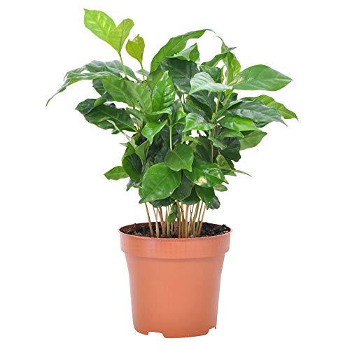 Coffea arabica | Rubiaceae | Kaffeepflanze inkl. duftendem Ziertopf | Höhe 30 cm | Topfgröße Ø 12 |5 cm