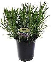 Findlavender - Provence French Lavender - Potted - Very Fragrant - 2.5Qt. Size Pot - 1 Live Plant