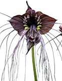 Schwarze Fledermausblume'Black-Bat-Flower' - Tacca chantrieri *10 Samen* Teufelsblume