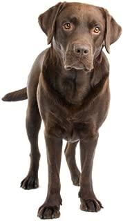 Chocolate Labrador Retriever - Dog Breed - Edible Cake / Cupcake Topper
