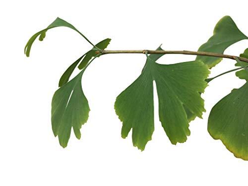 10 Große-Frische Ginkgo Samen -Ginkgo biloba- ***Kann über 1000 Jahre alt werden und 40 Meter hoch***