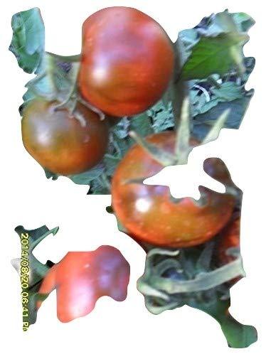 Ungarische Samen Tomaten