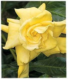 Golden Magic Gardenia ( cape jasmine ) - Live Plant - 4 Inch Pot