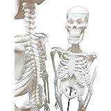 OWLIAN 人体骨格模型 骨格標本 全身 直立型 関節可動 骸骨 教材 45㎝ 1/4モデル (45㎝ 1/4縮小モデル)