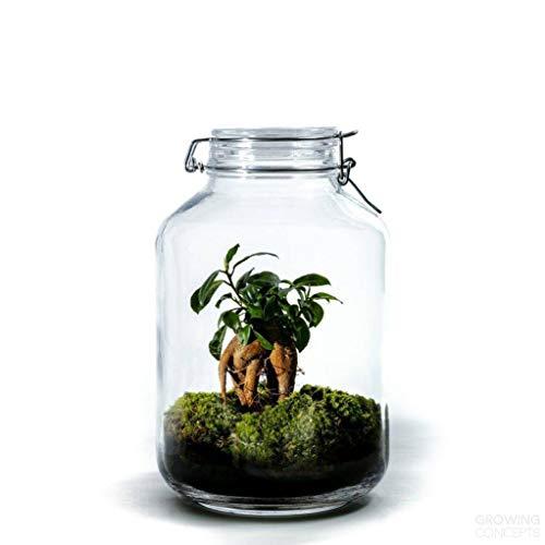 DIY Öko Flaschengarten von Botanicly: Jar Groß – Ficus ginseng (Höhe: ca. 30 cm, Breite: ca. 17 cm)