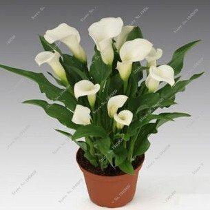 Virtue 100 Stücke Calla Liliensamen, seltene Pflanzen Blumen, Zimmer Blumen Rhizome Zantedeschia Aethiopica, Bonsai Zimmerpflanzen Hausgarten Palnt