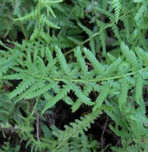 Frauenfarn Victoriae - Athyrium filix femina