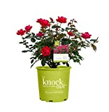 Star Roses Knockout 18335 Double Knockout Rose, 19cm, Red