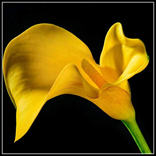 Calla Lily Bulbs for Planting,Live Plants,Vase,Sale,Balcony,Grow in Your Garden,Mysterious Garden Planting,Beautiful Youth,Green Courtyard-7 Bulbs,1