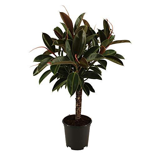 Ficus elastica 'Melany'   Pianta Gomma   Piante gomma per interni   Pianta Ficus   Altezza 90-100 cm   Vaso Ø 21 cm