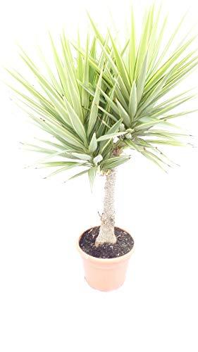 Yucca XXL Hochstamm Palme 160-180 cm Elephantipes 'Jewel', pflegeleichte Zimmerpflanze