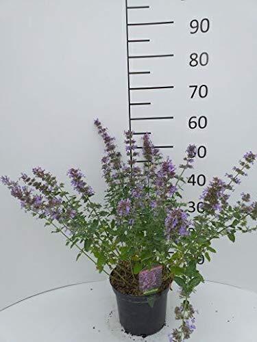 Späth Staude im Topf Traubige Katzenminze 'Walker's Low' violett blühend, Bienenstauden mehrjährig 1 Pflanze