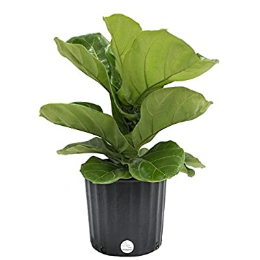 Costa Farms Premium Live Indoor Ficus Lyrata, Fiddle-Leaf Fig Floor Plant in 8.75-Inch Grower Pot, Shipped Fresh From Our Farm, Excellent Gift