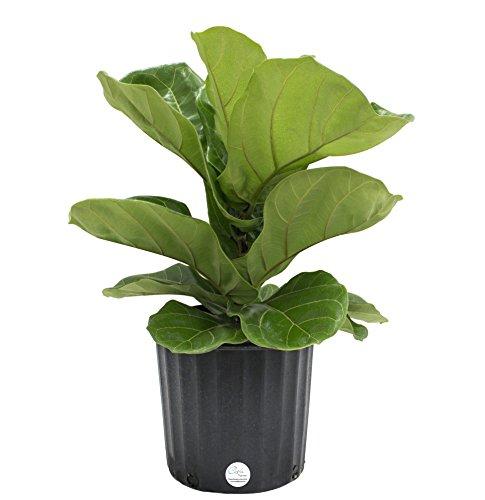 Costa Farms 10PAN L yrata (Pandurata) Live Indoor Ficus Lyrata, Fiddle-Leaf Fig Floor Plant, 2-FT