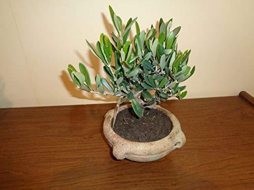 Olea Olivenbaum 1 Bonsai in Schale 15 cm Höhe 25 cm