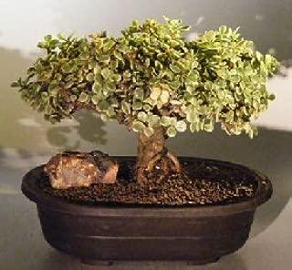 Best portulacaria afra variegata bonsai Reviews