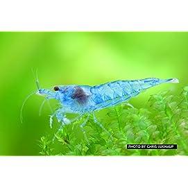 Blue Jelly Garnele Neocaridina davidi
