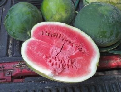 David's Garden Seeds Fruit Watermelon Black Diamond 1988 (Red) 50 Non-GMO, Heirloom Seeds