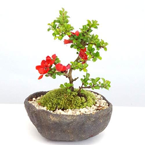 年に数回可憐な花が楽しめます【紅長寿梅(べにちょうじゅばい)の盆栽(くらま鉢】 (化粧砂の色(矢作砂))
