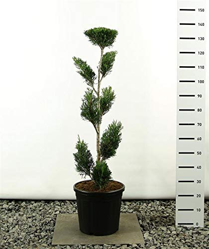 Cupressocyparis leylandii Pon Pon - Lelyland Zypresse - Formschnitt - Formgehölz - Multiplateau - Größenauswahl (125-150cm - 20 Ltr Topf - Sp.2001)