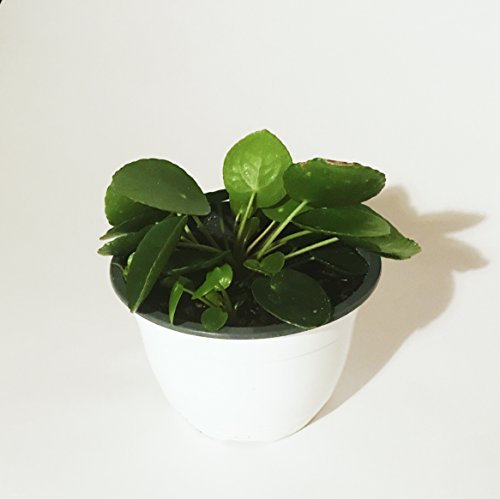 Pilea Peperomioides - 6' Pot with babies