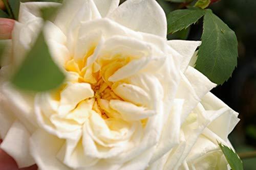 Kletterrose Ilse Krohn Superior® - Rosa Ilse Krohn - Superior® - cremeweiß - Duft+ - Kordes-Rose