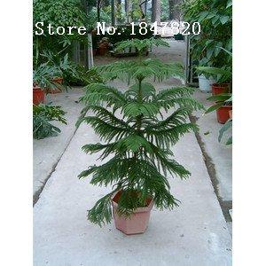 AAA 2016 50 Araucaria Samen Gartenpflanzen Bonsai Refreshing Samen Blattpflanzen Baumsamen