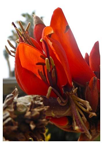 TROPICA - Südafrikanischer Korallenstrauch (Erythrina caffra) - 10 Samen