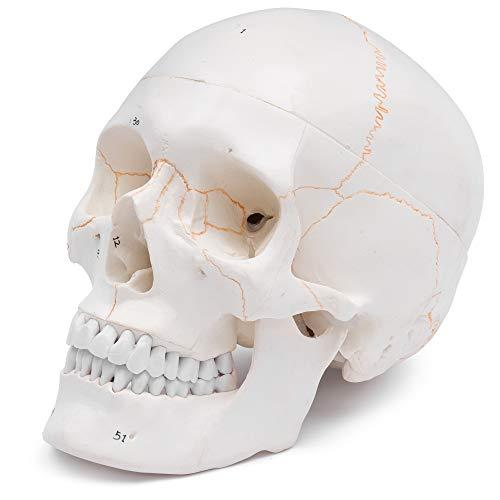 S24.2110 Cráneo humano: Modelo anatómico educativo de 3 piezas, numeradas