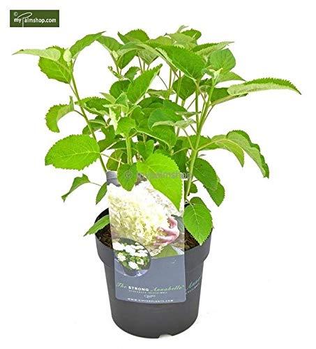 Ballhortensie Hydrangea arborescens Strong Annabelle - Incrediball® - RIESIGE Blüten (50-60cm - 3ltr.)