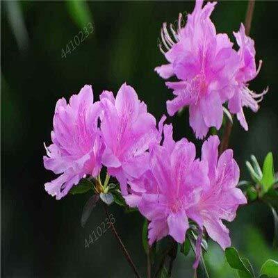 ! Vendite 150Pcs / Bag Rare Rododendro Azalea Bonsai Looks Like Sakura Cherry Blooms Fiore Pianta in Vaso per Decor Garden: 7