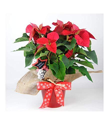 Poinsettia Natural - Planta de Navidad - Flor de Pascua Roja - Altura de 50 cm y Maceta de 14cm - Dedicatoria incluida