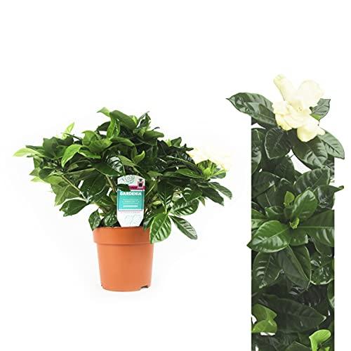 Echte Gardenia Pflanze 25-30 cm Gardenia jasminoides Gardenie - Jasmin Pflanze duftend blühende Zimmerpflanzen Strauch Blüten Pflanze Pflanzen Blumen