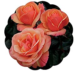 Rose flower blooms fully open with salmon pink colored petals.