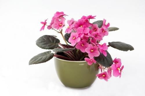 100pcs couleurs mélangées Mini Violet Graines, Graines violettes africaines, plantes Mini jardin Violet Fleurs vivaces Herb Matthiola Incana Seed 14