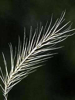 200 Seeds of Elymus riparius, Riverbank Wild Rye