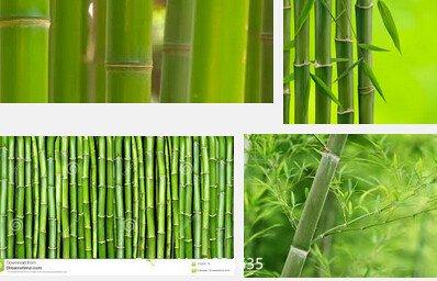 Les pubescens géant Phyllostachys de jardin des plantes Moso Graines de bambou d'arbres Bonsai Seed