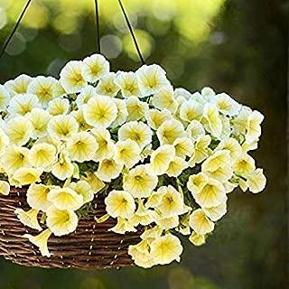 ANVIN Germinación de Las Semillas: 15 Semillas de Easy Wave Amarillo Petunia híbrido