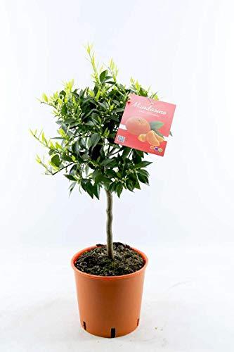 Blumen Senf Mandarinenbäumchen 80-100 cm - Citrus reticulata - Mandarine (Pflanze)