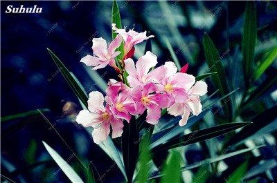 150 Pcs Nerium Graines Oleander plantes en pot semencier japonais Jardin Décoration Bloom Graine Facile à cultiver purifient l'air 7