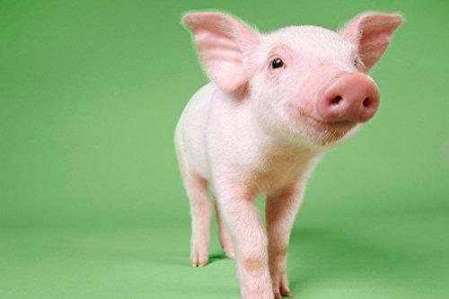 Cute Little Baby Pig Piglet Standing Photo Photograph Cool Wall Decor Art Print Poster 18x12